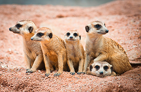 Meerkats move in to new home